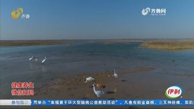 嘴大吃四方就爱囫囵吞 稀客32年来首次造访黄河口