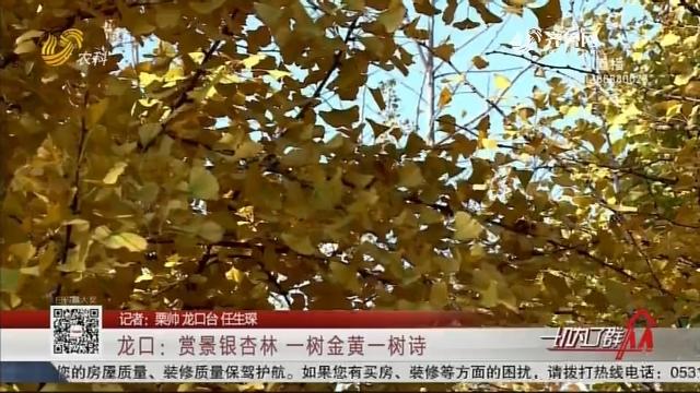 龙口:赏景银杏林一树金黄一树诗