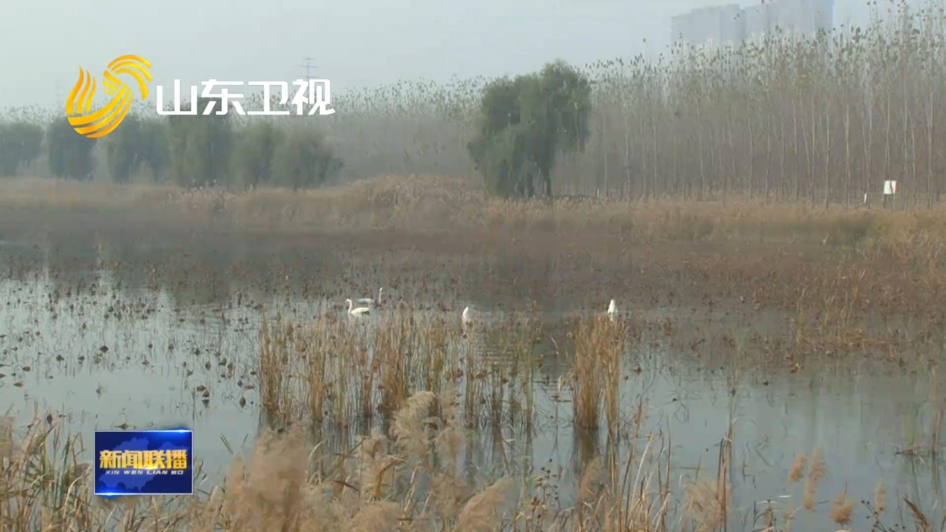 济南龙湖湿地迎来首批越冬天鹅