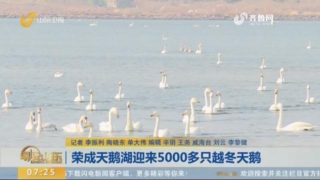 荣成天鹅湖迎来5000多只越冬天鹅