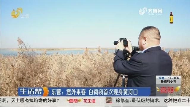 东营:意外来客 白鹈鹕首次现身黄河口