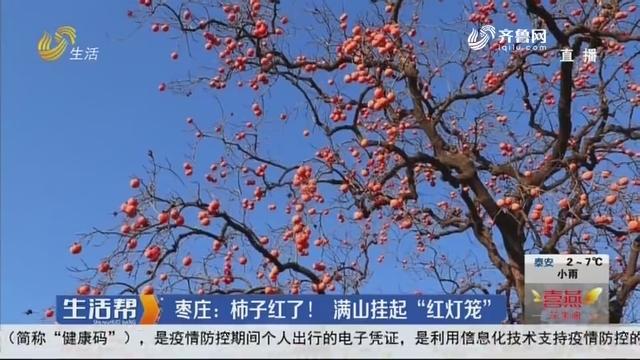 """枣庄:柿子红了!满山挂起""""红灯笼"""""""