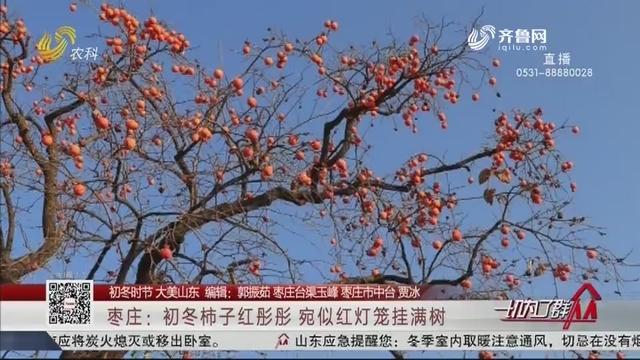 【初冬时节大美山东】枣庄:初冬柿子红彤彤 宛似红灯笼挂满树