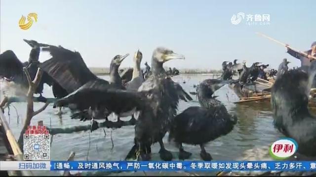 """天寒地冻!微山湖""""鱼鹰军团""""出动"""