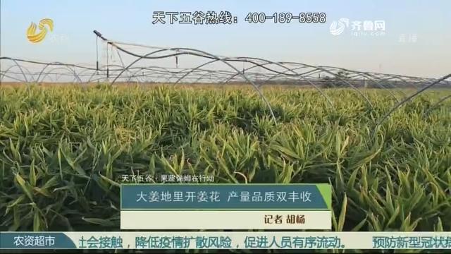 【天下五谷·果蔬保姆在行动】大姜地里开姜花 产量品质双丰收
