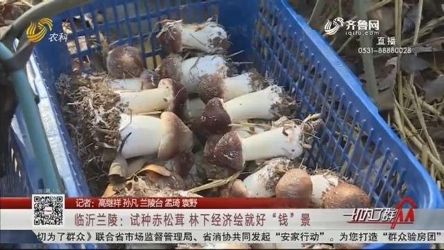 """临沂兰陵:试种赤松茸 林下经济绘就好""""钱""""景"""