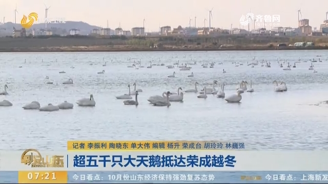 超五千只大天鹅抵达荣成越冬