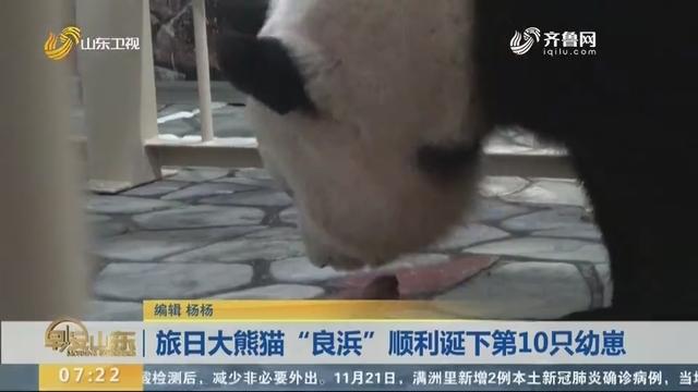 """旅日大熊猫""""良浜""""顺利诞下第10只幼崽"""