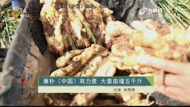 康朴(中国)有力量 大姜亩增五千斤