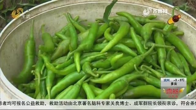 菏泽成武:小辣椒大收益 订单产品远销国外