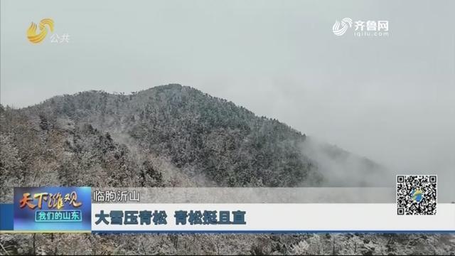 【临朐沂山】大雪压青松 青松挺且直