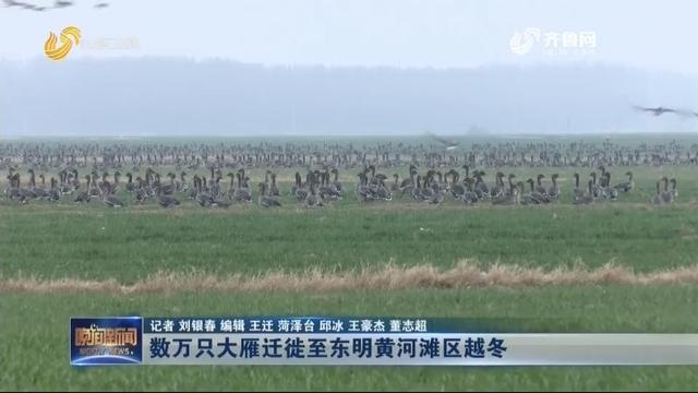 数万只大雁迁徙至东明黄河滩区越冬
