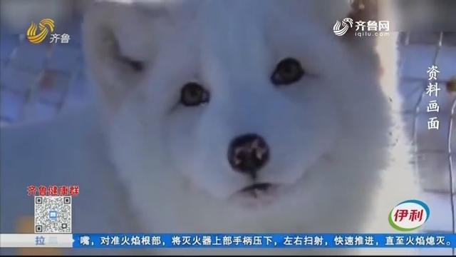 北极狐来了咱大山东