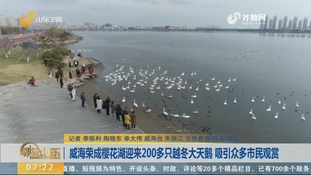 威海荣成樱花湖迎来200多只越冬大天鹅 吸引众多市民观赏