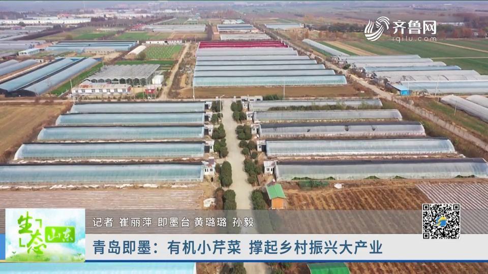 青岛即墨:有机小芹菜 撑起乡村振兴大产业