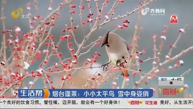 烟台蓬莱:小小太平鸟 雪中身姿俏