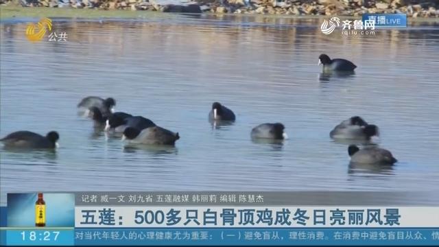五莲:500多只白骨顶鸡成冬日亮丽风景