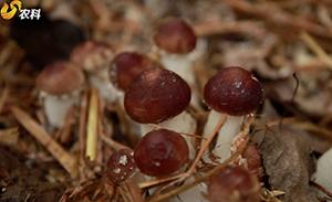 林下赤松茸