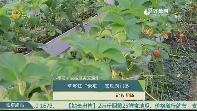 """【小螺号·农技服务直通车】草莓住""""豪宅"""" 管理窍门多"""