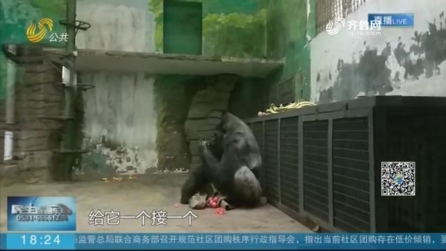 """陪伴几代人成长的大猩猩""""威利""""走了"""