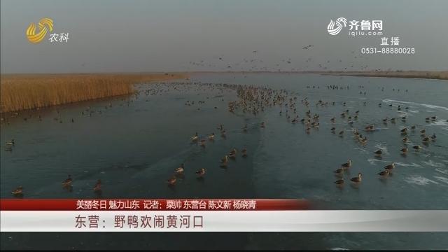 【美丽冬日 魅力山东】东营:野鸭欢闹黄河口