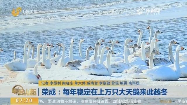 荣成:每年稳定在上万只大天鹅来此越冬
