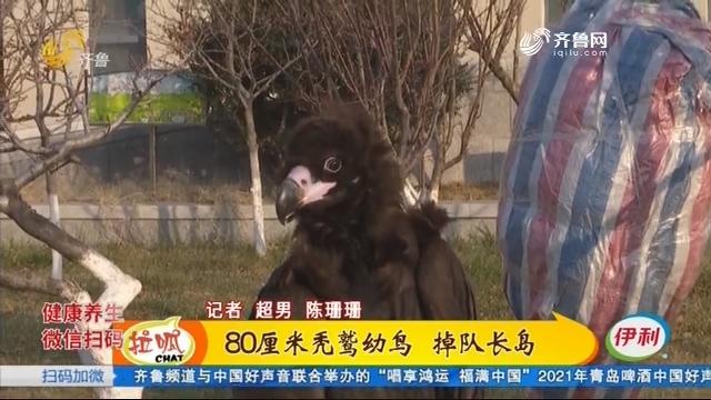 蓬莱:小秃鹫落难记