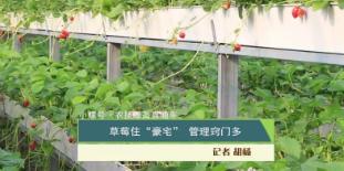 """【小螺号 农技服务直通车】草莓住""""豪宅"""" 管理窍门多"""