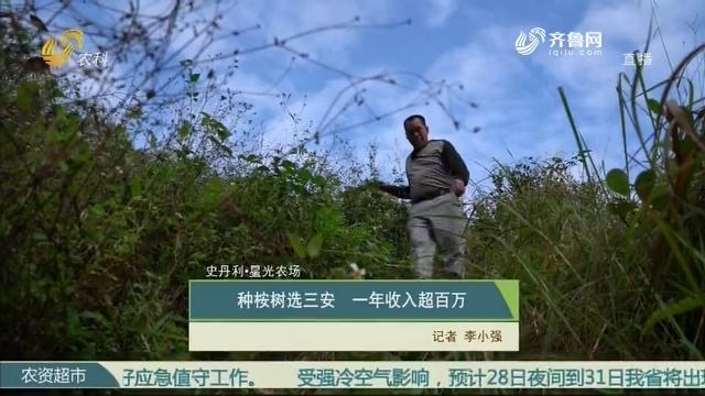 【史丹利·星光农场】种桉树选三安 一年收入超百万
