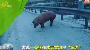 """猪""""越狱""""在高速上""""溜达"""" 交警快速捉拿确保行车安全"""