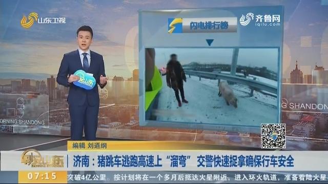 """济南:猪跳车逃跑高速上""""溜弯"""" 交警快速捉拿确保行车安全"""