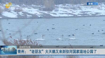 """青州:""""老朋友""""大天鹅又来到弥河国家湿地公园了"""