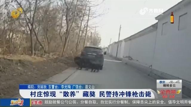 """村庄惊现""""散养""""藏獒 民警持冲锋枪击毙"""