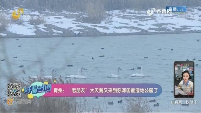 """【融媒朋友圏】青州:""""老朋友""""大天鹅又来到弥河国家湿地公园了"""