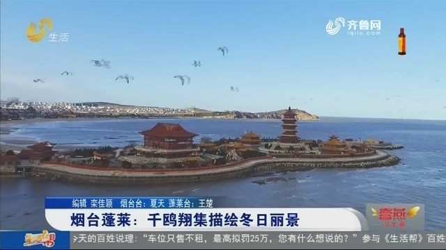 烟台蓬莱:千鸥翔集描绘冬日丽景