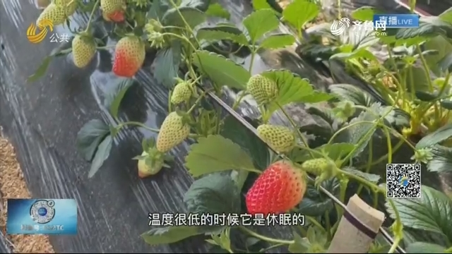 空调、棉被、增温宝 草莓原来是这样过冬的