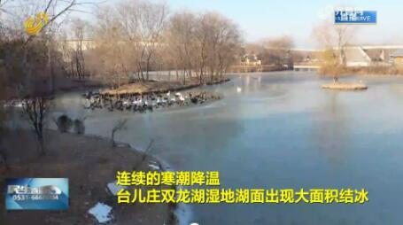 【融媒朋友圈】枣庄:黑白天鹅冰面起舞  姿态翩跹悠然越冬
