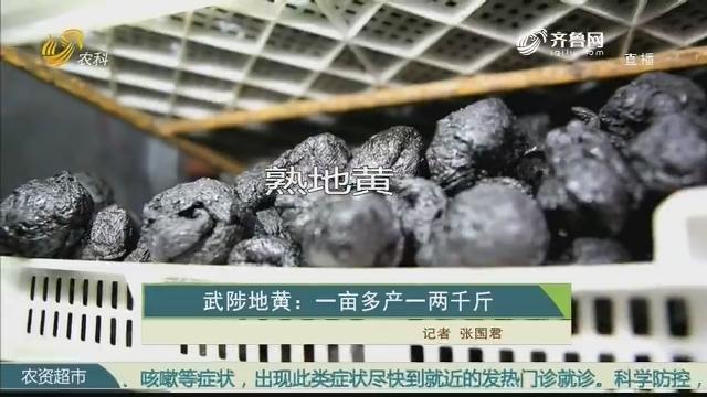 【史丹利·星光农场】武陟地黄:一亩多产一两千斤