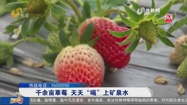 """千余亩草莓 天天""""喝""""上矿泉水"""