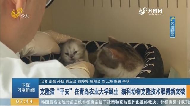 """克隆猫""""平安""""在青岛农业大学诞生 猫科动物克隆技术取得新突破"""