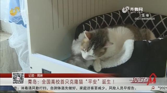 """青岛:全国高校首只克隆猫""""平安""""诞生 !"""