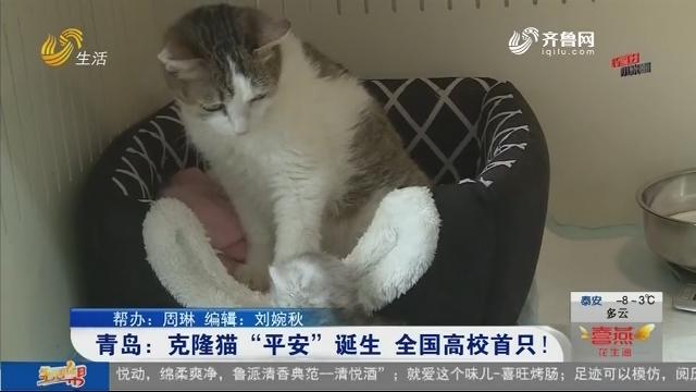 """青岛:克隆猫""""平安""""诞生 全国高校首只!"""