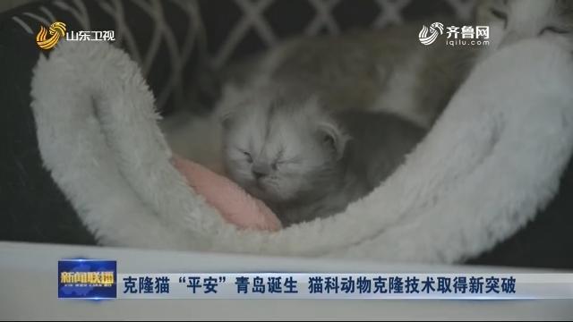 """克隆猫""""平安""""青岛诞生 猫科动物克隆技术取得新突破"""