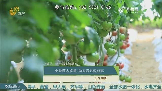 【小螺号·农技服务直通车】小番茄大能量 助农兴农效益高