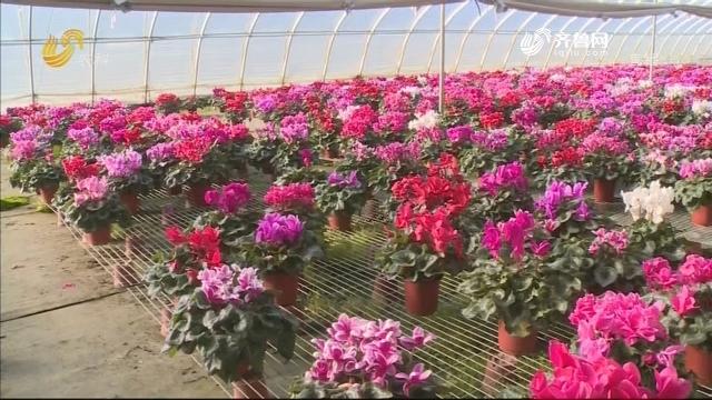 威海冬暖大棚花开正艳