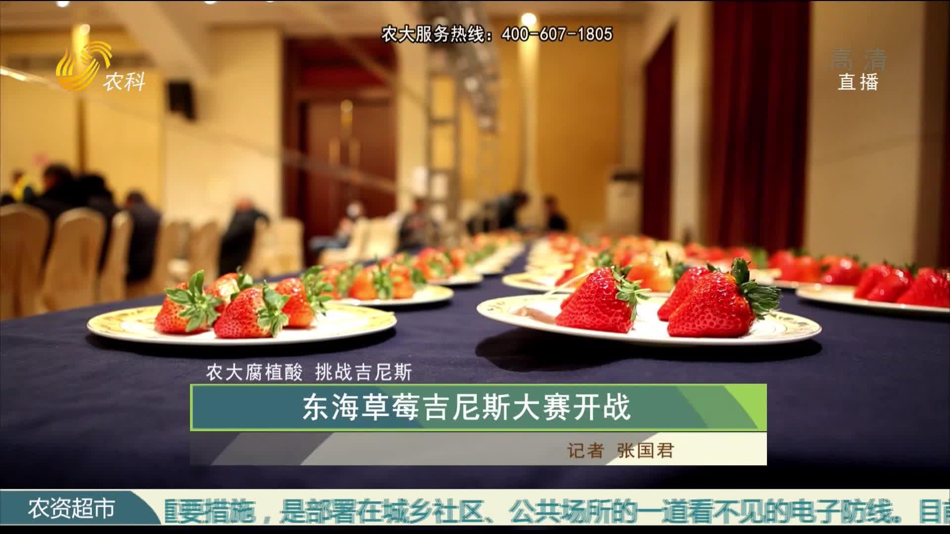 【农大腐植酸 挑战吉尼斯】东海草莓吉尼斯大赛开战