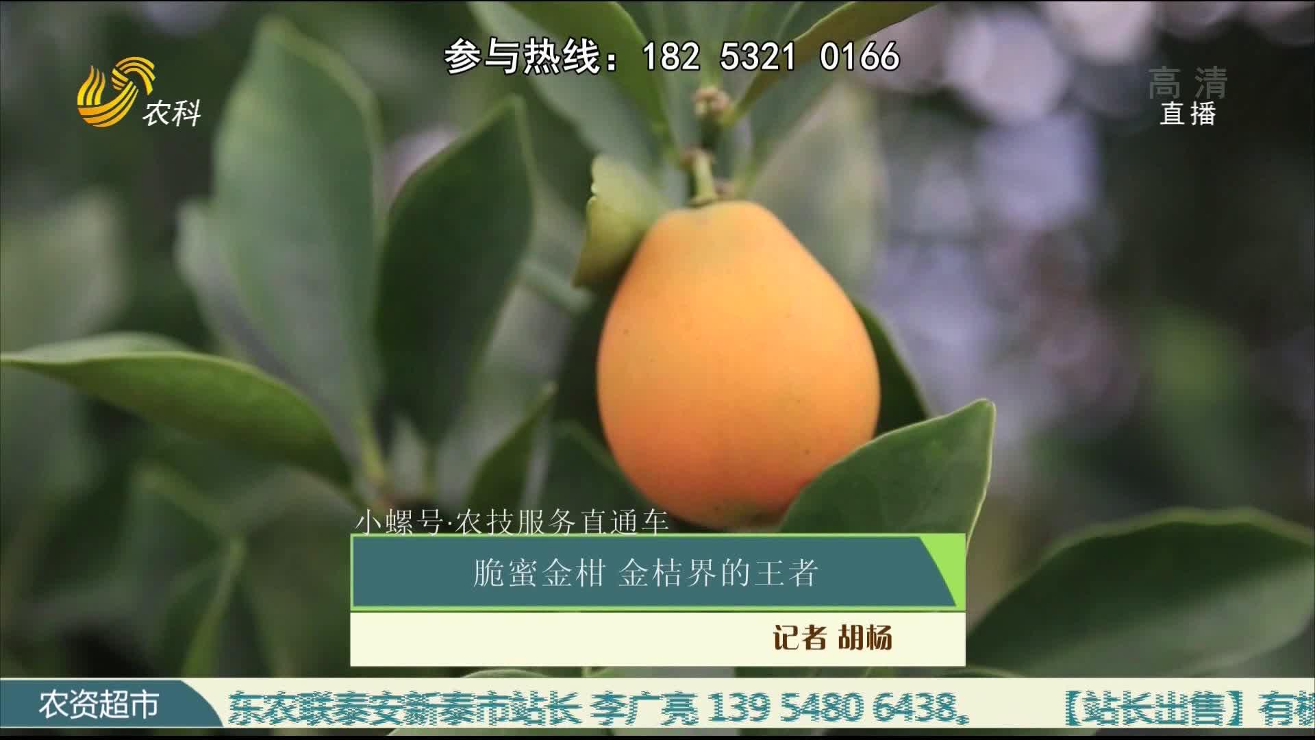 【小螺号·农技服务直通车】脆蜜金柑 金桔界的王者