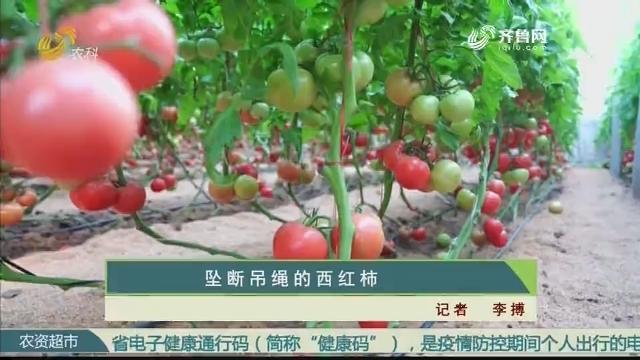 坠断吊绳的西红柿