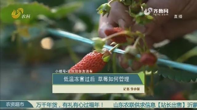 【小螺号·农技服务直通车】低温冻害过后 草莓如何管理