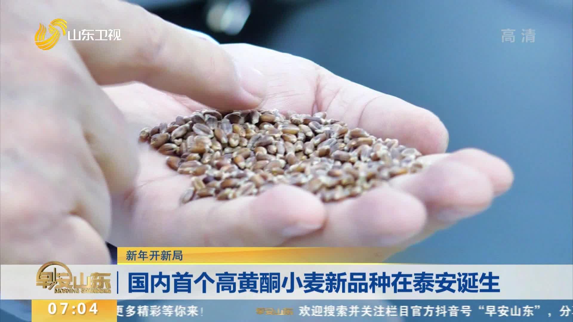 【新年开新局】 国内首个高黄酮小麦新品种在泰安诞生